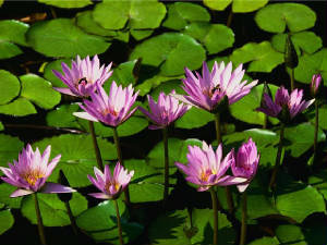 waterlilies.jpg